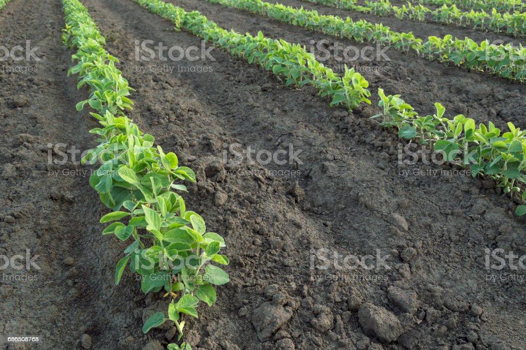 Sojaolja field royaltyfri bildbanksbilder