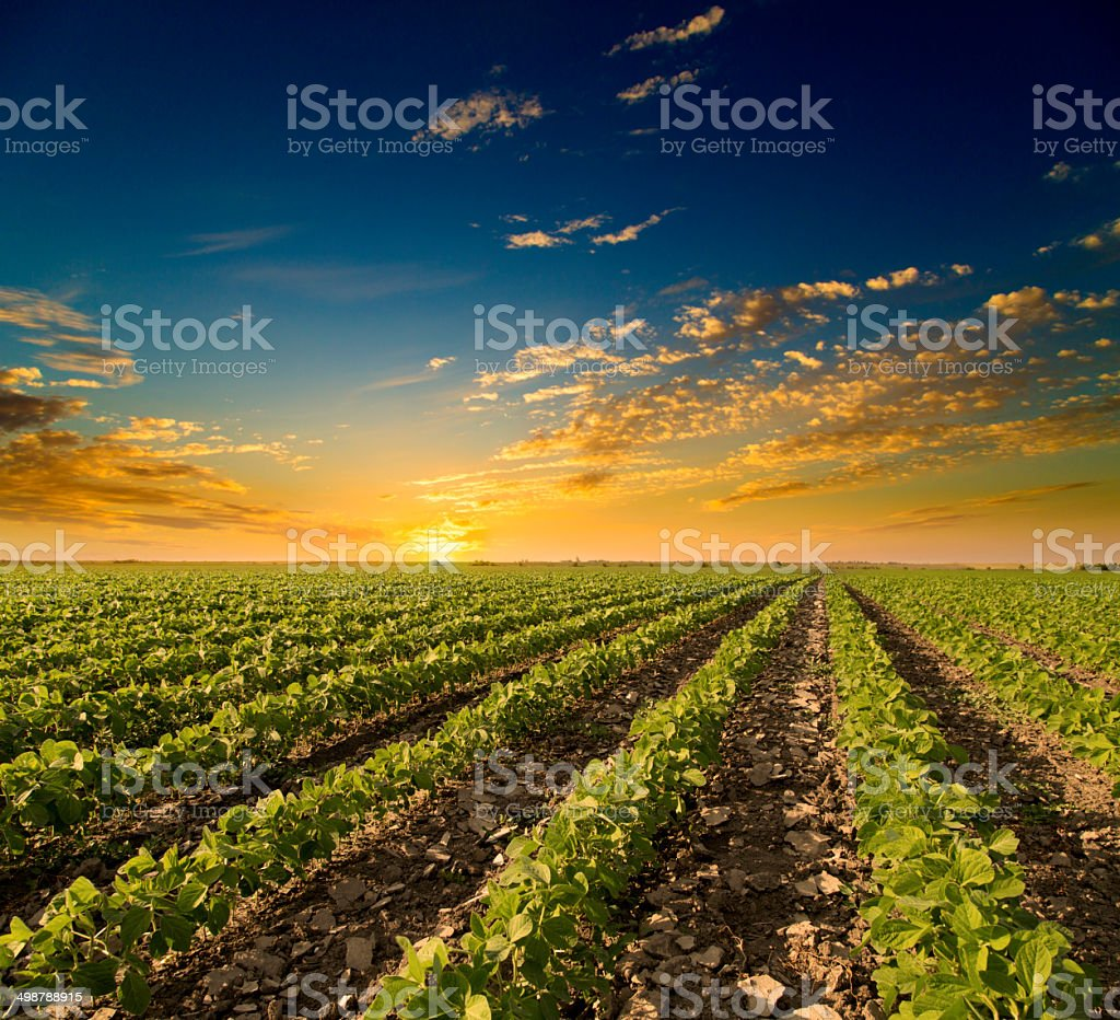 Soybean field ripening at spring season, agricultural landscape. Sunset stock photo