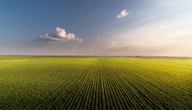 Soybean field ripening at spring season Soybean field ripening at spring season monoculture stock pictures, royalty-free photos & images