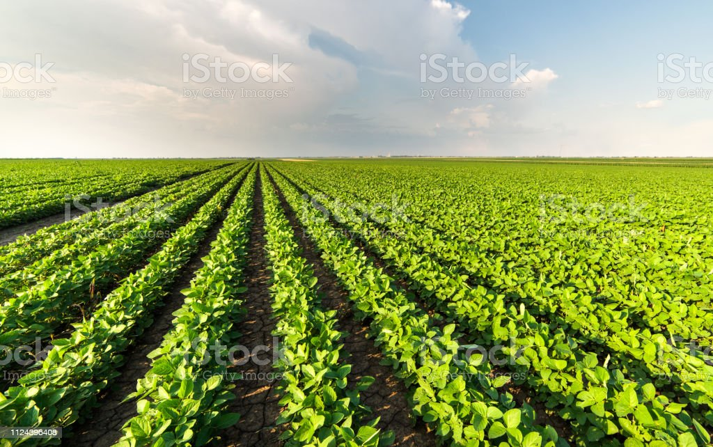 Soybean Field Rows in summer Soybean Field Rows in summer Agricultural Field Stock Photo