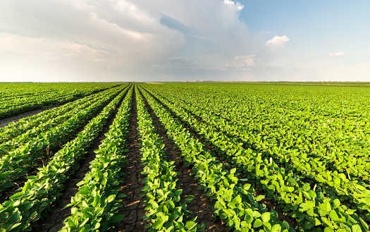 Soybean Field Rows In Summer Stock Photo - Download Image Now