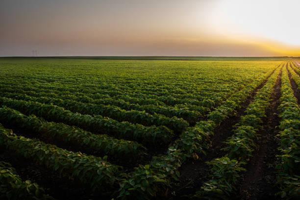 Sojabohnenfeldreihen bei Sonnenuntergang – Foto