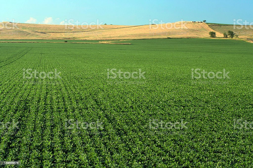Soybean Field, Schuyler, Nebraska royalty-free stock photo