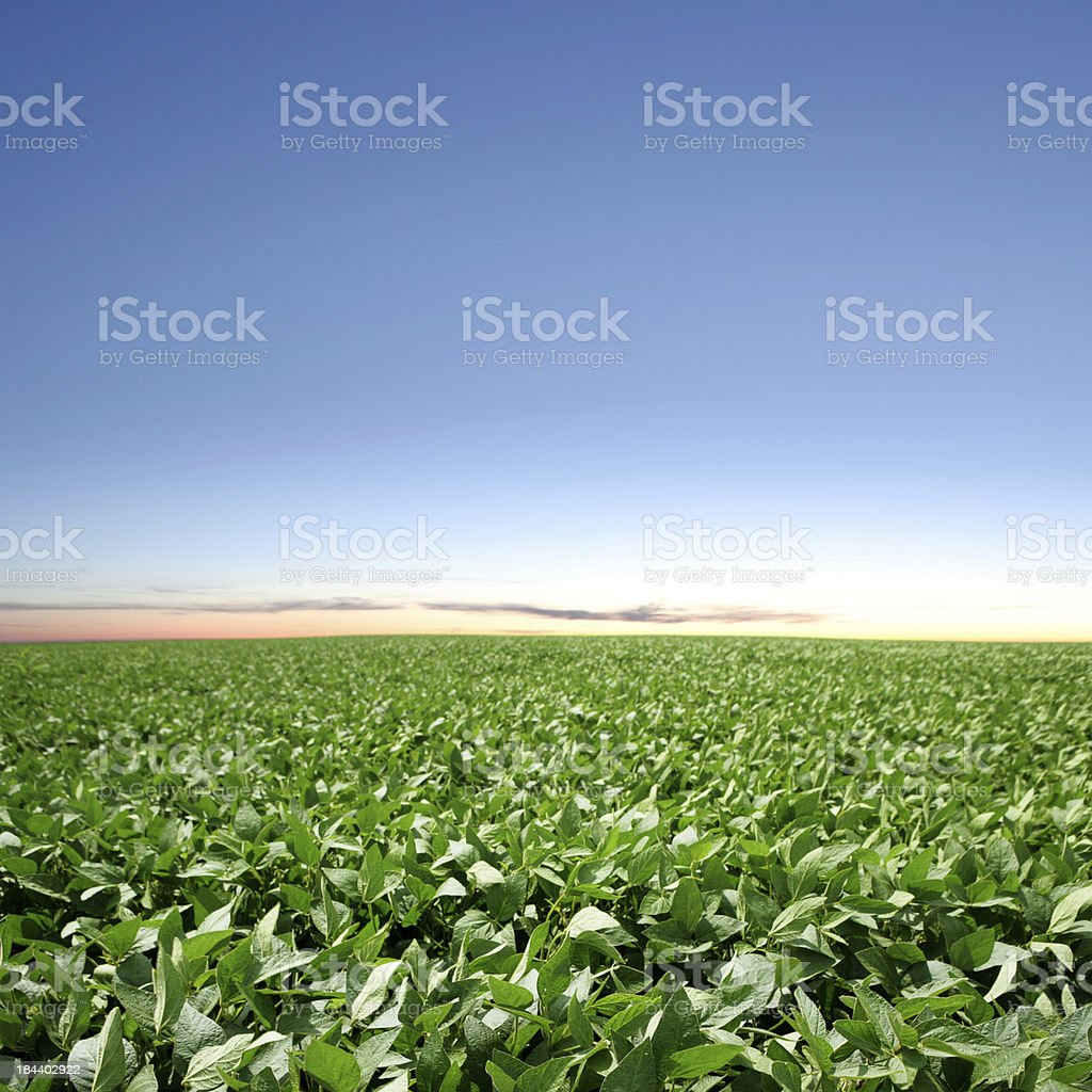 XXXL soybean field twilight royalty-free stock photo