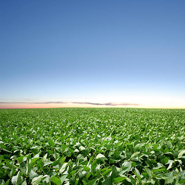 XXXL soybean field twilight stock photo