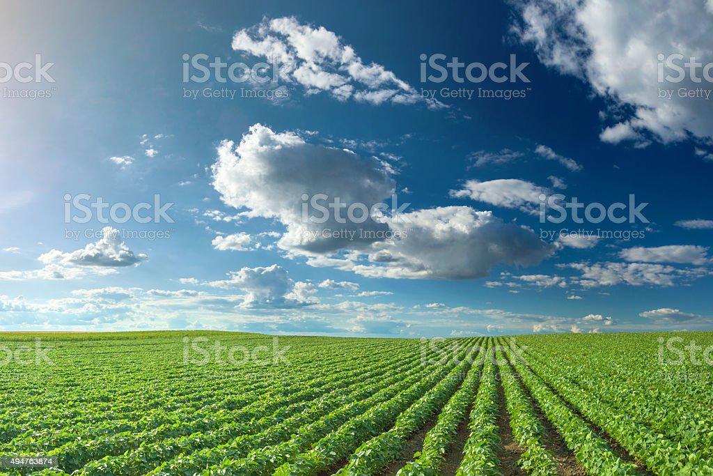 Campos de soja en la idílica día soleado - foto de stock
