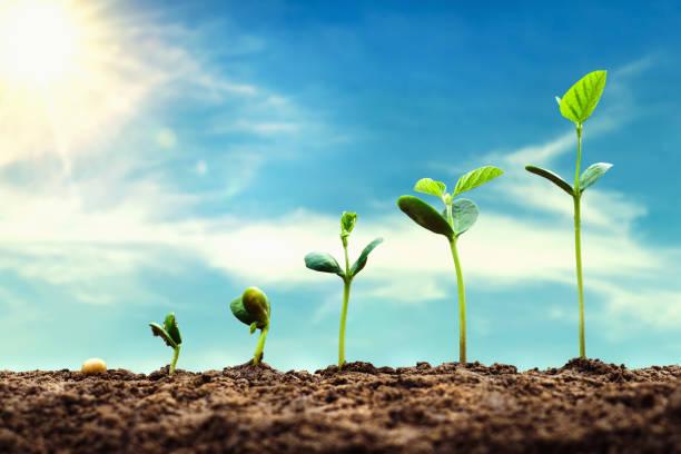 Sojabohnenwachstum in Bauernhof mit blauem Himmel Hintergrund. Landwirtschaftliches Pflanzensäen Wachstumsschrittkonzept – Foto