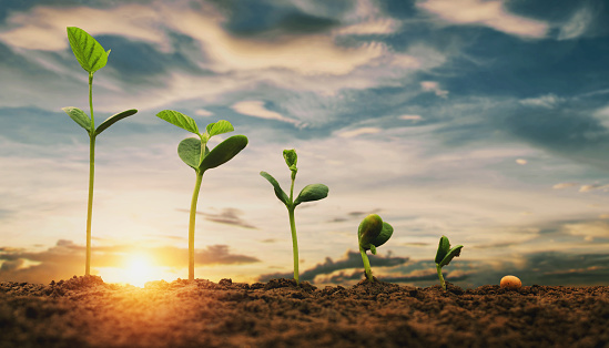 1094263056 istock photo soybean growth in farm with blue sky background. agriculture plant seeding growing step concept 1170201177