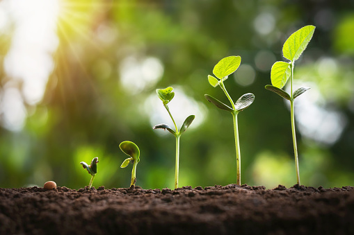 1094263056 istock photo soybean growth in farm with green leaf background. agriculture plant seeding growing step concept 1169156819