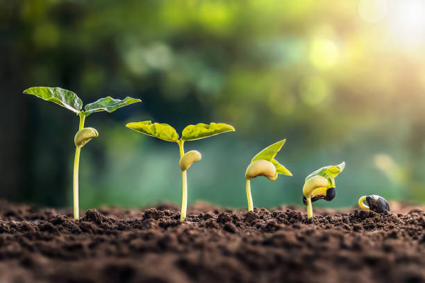 Sojabohnenwachstum in Bauernhof mit grünem Blatt Hintergrund. Pflanzensaat-Wachstumsschrittkonzept – Foto
