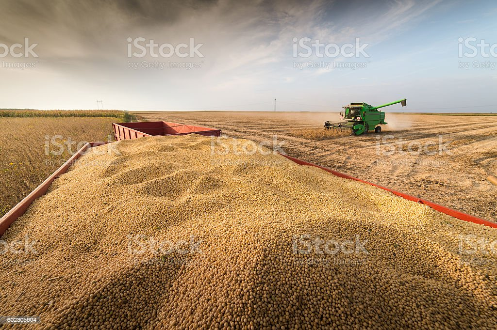 soybean harvest in autumn – Foto