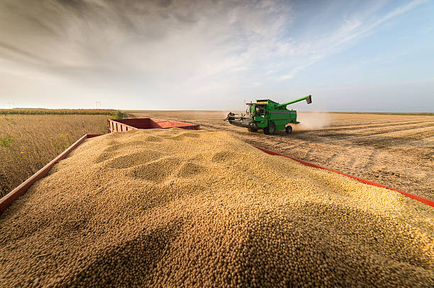 soybean harvest in autumn – Foto