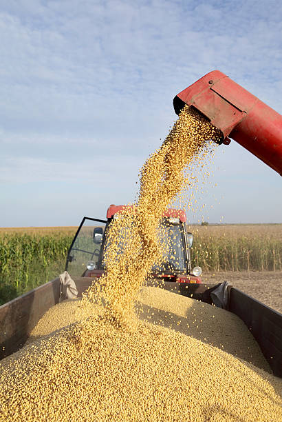Soybean harvesting stock photo