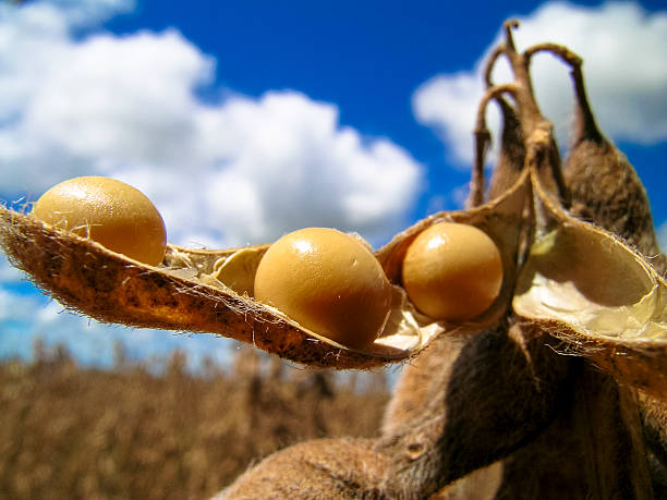 soybean ripe soybeans ready for harvest plant pod stock pictures, royalty-free photos & images