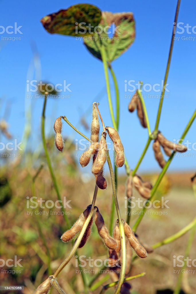 Soybean plant royalty-free stock photo