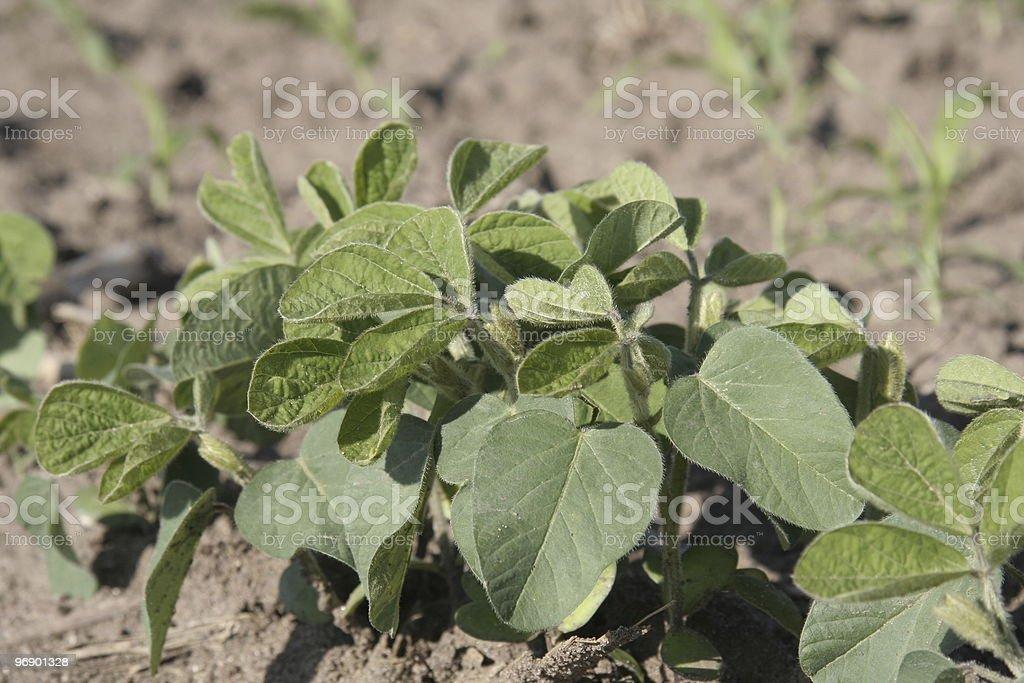 Soybean plant royalty-free stock photo
