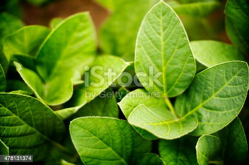 Top view of soybean plants in a field. Thick,juicy leaves still in intensive growth phase. There are tiny hairs on the leaves. Selective focus.