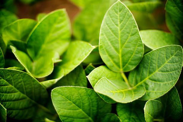 soybean plant, top view. - soya fasulyesi stok fotoğraflar ve resimler