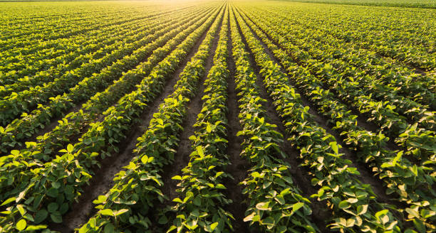 Soja-Plantage in sonnigen Tag – Foto