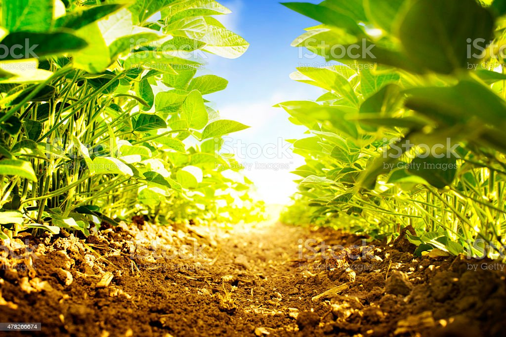Soybean plants from ground level. stock photo