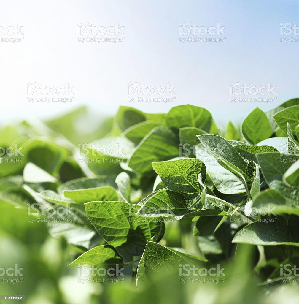 Soybean plants royalty-free stock photo