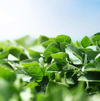 Detail of soybean plant in a field.Modern production,no diseases on leaves,heavy pesticide/fungicide usage.Unorganic completely. Blue summer sky in background, shallow focus. Backlit.