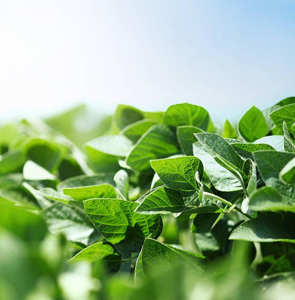 soybean plants - soya fasulyesi stok fotoğraflar ve resimler
