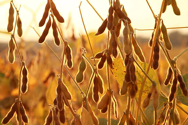 Soybean plants ready for harvest stock photo