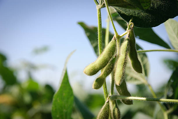 Soybean pods and leaves Green lush soybean pods crop plant stock pictures, royalty-free photos & images