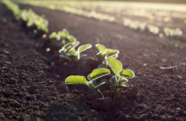 Soybean seedlings in field Soybean field in spring with young seedlings in soil, at sunset crop plant stock pictures, royalty-free photos & images