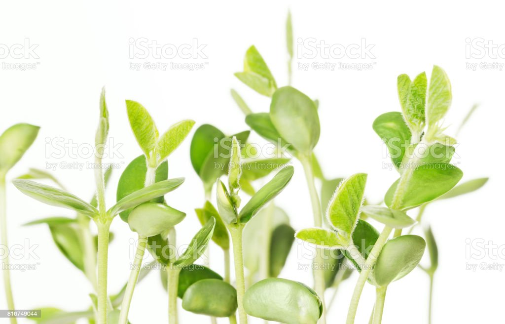 Soybean seedlings on white background stock photo