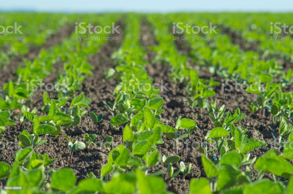 Soybean, soybean field row sowing royalty-free stock photo