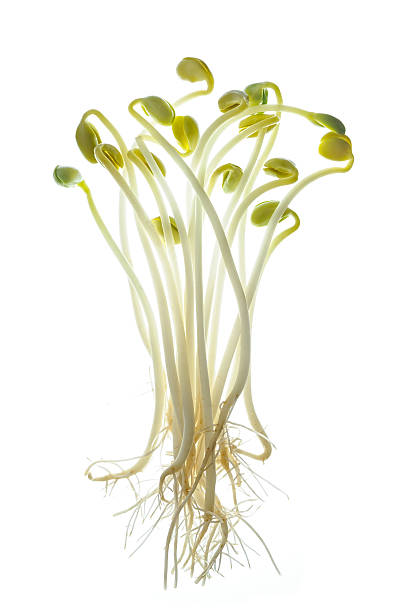 Soybean sprouts with roots stock photo