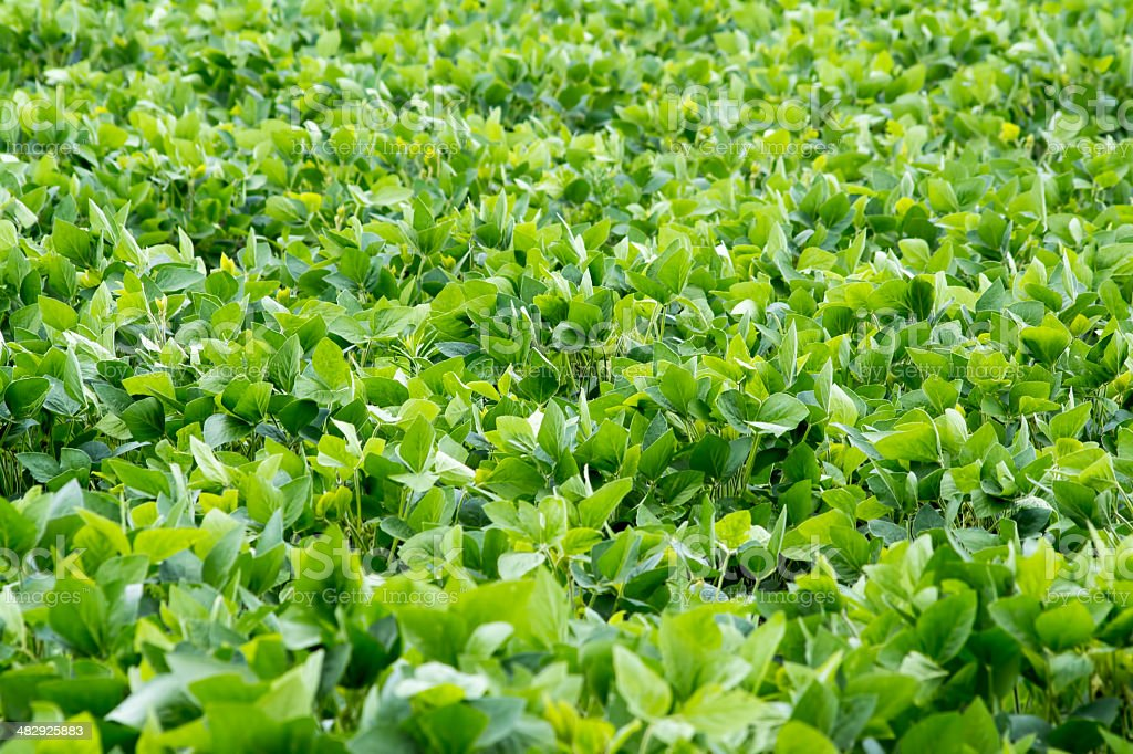 Soybeans Field 2 royalty-free stock photo