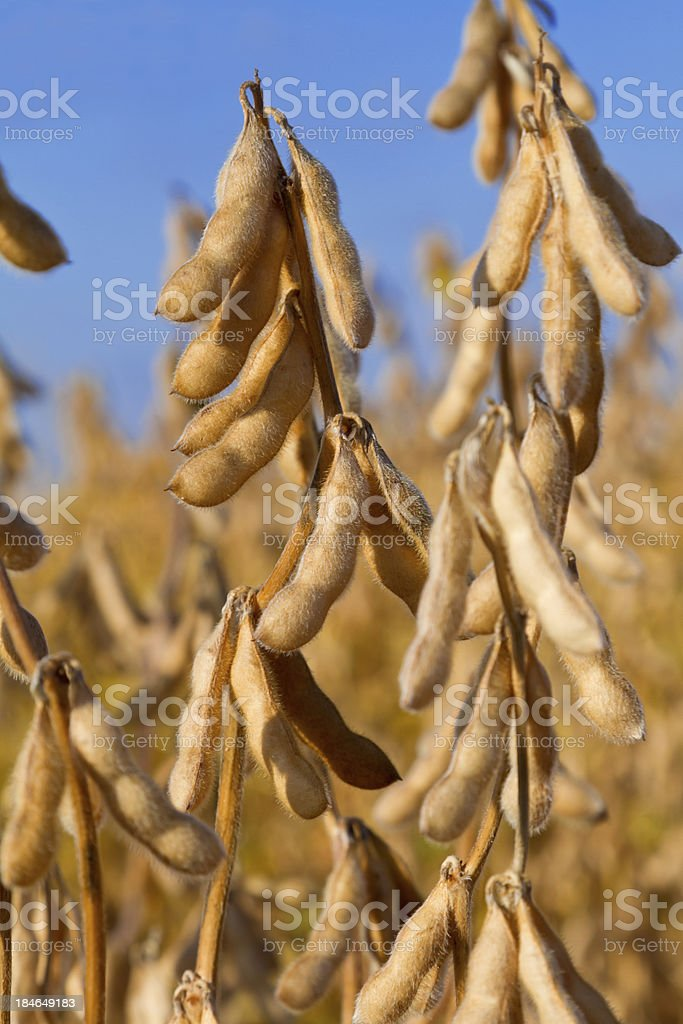 Soybeans ready for harvest stock photo
