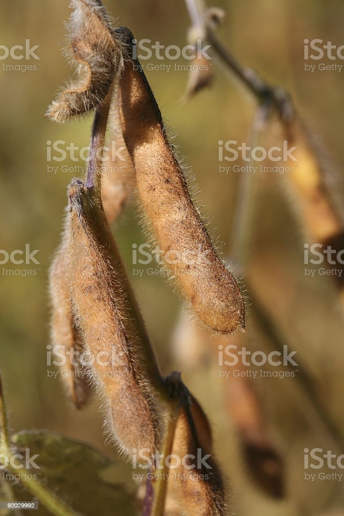 Soybeans Ready for Harvest royalty-free stock photo