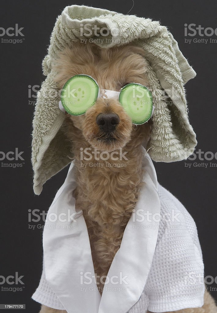 A poodle in a bathrobe, towel and cucumber eye mask, isolated on a...