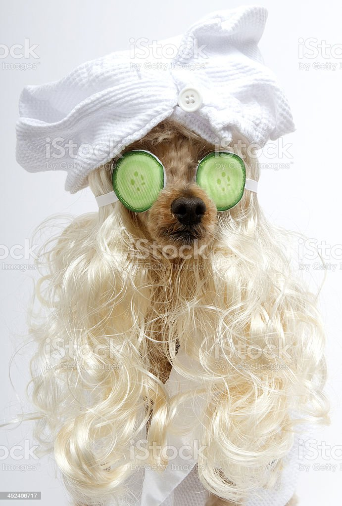 A poodle is spa ready with blonde hair, bathrobe and head wrap,...