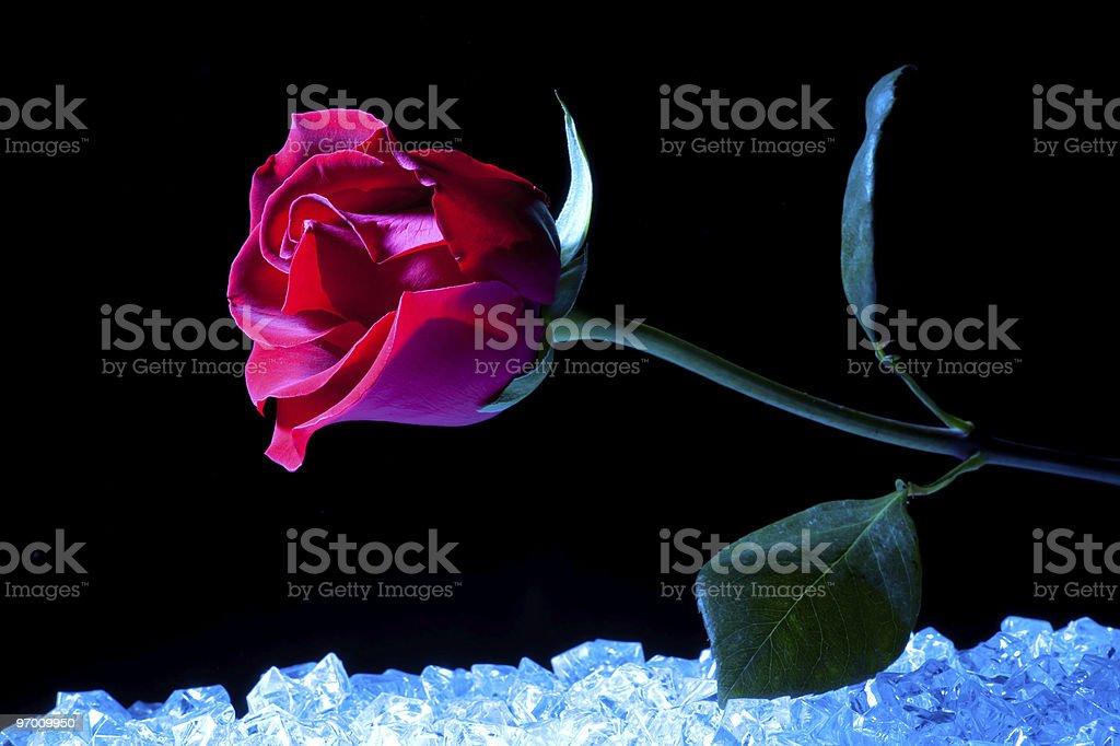 Spaceship Rose stock photo
