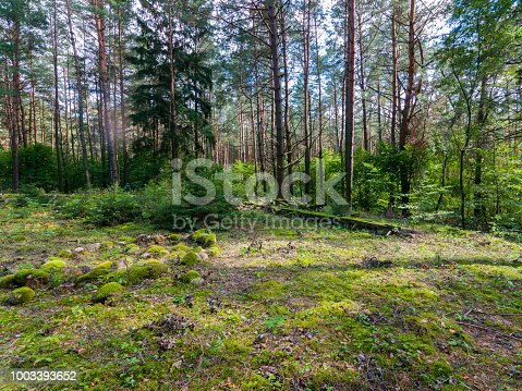A spacious forest glade with stones, overgrown with moss and a lot of tall green trees