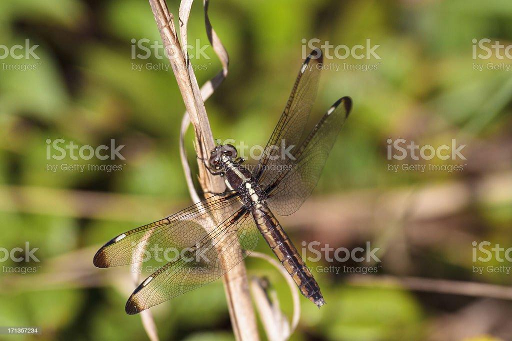 Spangled Skimmer Dragonfly (Female) Closeup stock photo