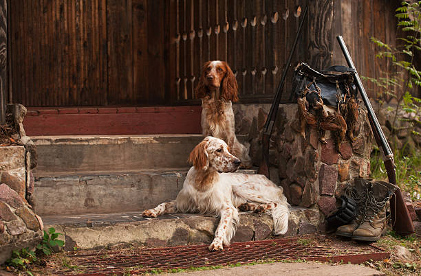 Spaniel and setter with trophies Gun dog near to shot-gun and trophies, horizontal, outdoors hunting dog stock pictures, royalty-free photos & images