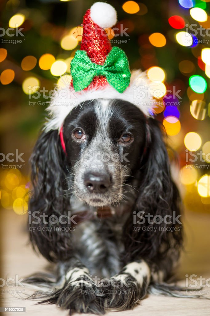spaniel dog in a gnome cap lies on the floor near a Christmas tree with garlands stock photo