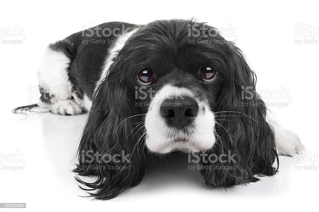 Spaniel Dog Isolated stock photo