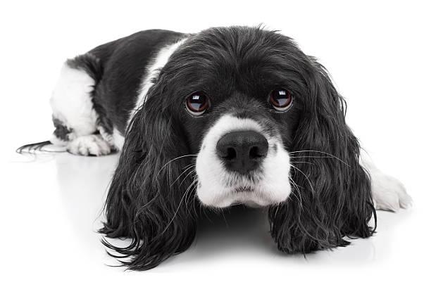 Spaniel Dog Isolated stock photo