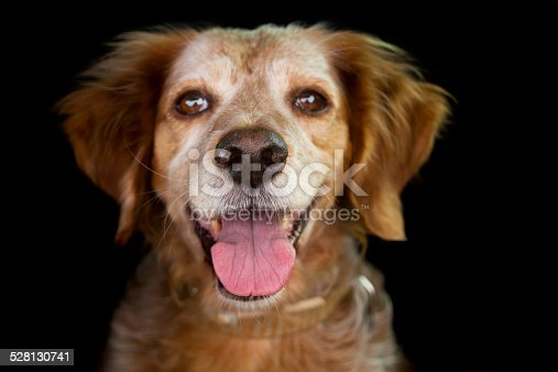 Close up of happy and alert spaniel dog , selective focus on the nose with black background.