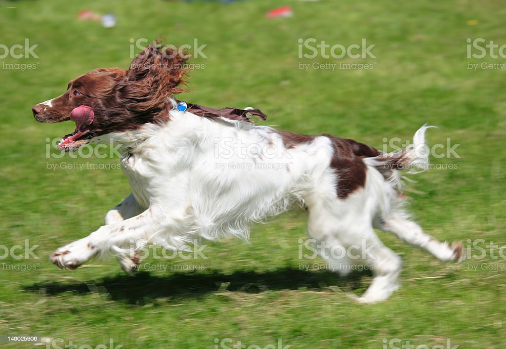 spaniel dog running on green meadow stock photo
