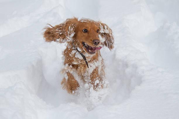 Spaniel happily running in the snow picture id465649518?b=1&k=6&m=465649518&s=612x612&w=0&h=rhsnx0uer1ap9c7jvygmvys ltbpyg1tovtr6f ps0o=