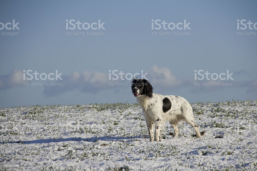 Spaniel in the snow royalty-free stock photo