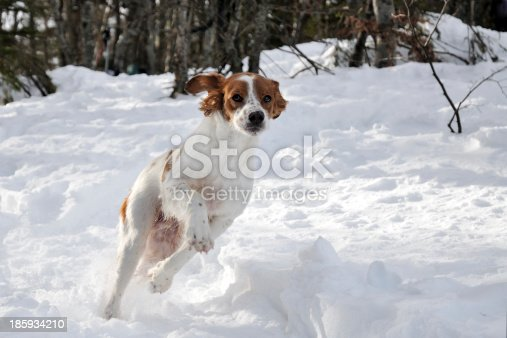 Spaniel dog run in the snow